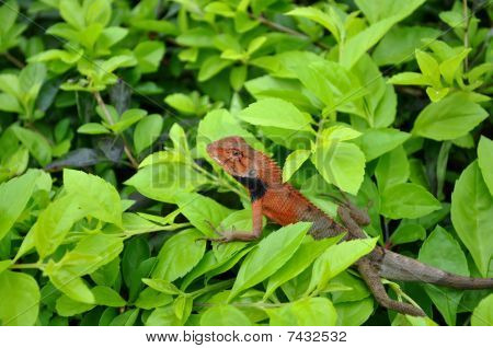Lizard on leaves