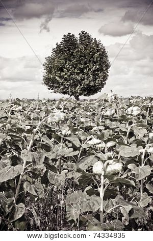 Isolated Tree In A Sunflowers Field Before A Rainstorm