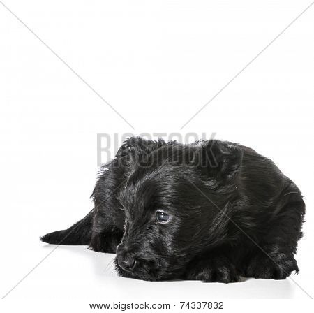 sleeping puppy - scottish terrier curled up ready to sleep isolated on white background - 4 weeks old