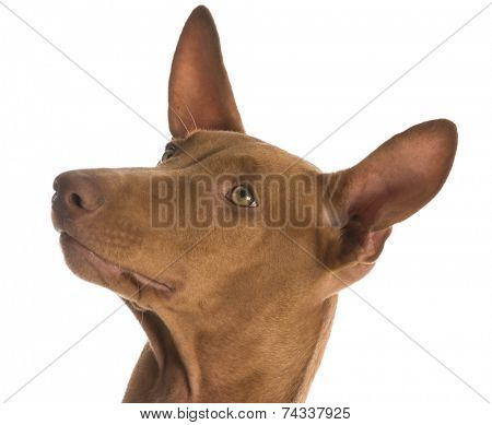 pharaoh hound portrait on white background