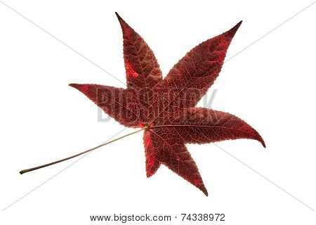Isolated Single Red Liquidambar Tree Leaf