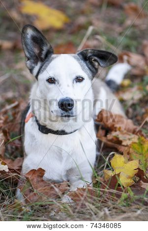 Beauty Mixed Breed White Dog Lying Amongst Autumn Leaves