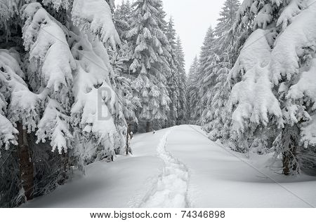 Winter landscape. The trail in the snow. Mountain forest overcast day. Carpathians, Ukraine, Europe