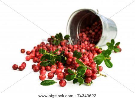 Cranberries In A Metal Bucket