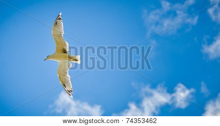 Seagull Is Flying And Soaring In The Blue Sky With Clouds