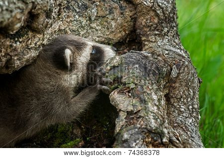 Baby Raccoon (procyon Lotor) Looks Out Of Log