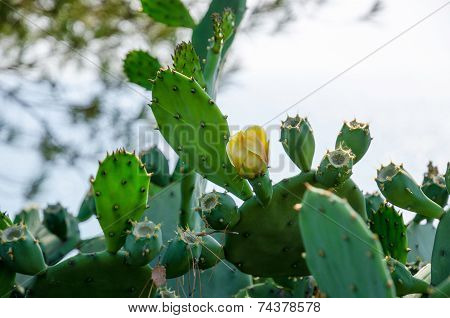 Blooming Cactus In The Wild Nature