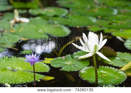 Purple and White Lotus