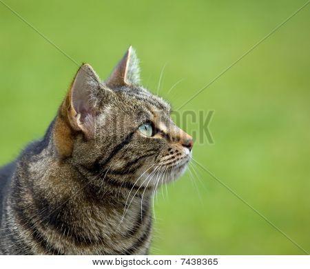 Tabby Cat head profile