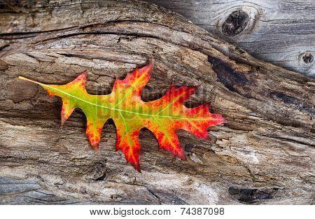 Vibrant Oak Leaf And Rustic Wood