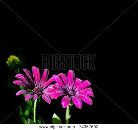 Osteospermum Purple, Isolated Image On Dark Background