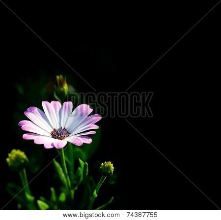 Osteospermum White, Isolated Image On Dark Background