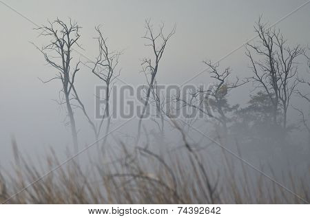 Tree Snags On A Foggy Silent Autumn Morning In The Marsh