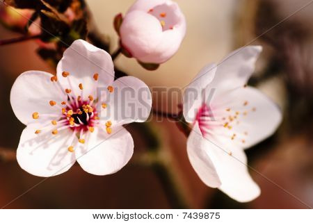 Asian Plum Blossom Macro