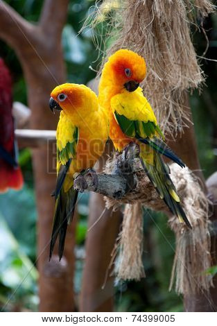 Beautiful colorful parrots, Sun Conure (Aratinga solstitialis)