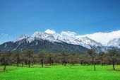 stock photo of jade  - Pine forest and Jade Dragon Snow Mountain Lijiang Yunnan China - JPG