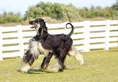stock photo of greyhounds  - A profile view of a healthy beautiful grizzle black and tan Afghan Hound walking on the grass looking happy and cheerful - JPG