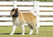 stock photo of pinto  - A profile view of a sable white and brown pinto American Akita dog standing on the grass distinctive for its plush tail that curls over his back and for the black mask. A large and powerful dog breed. ** Note: Soft Focus at 100%, best at smaller sizes - JPG