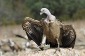 stock photo of spread wings  - Griffon vulture standing on a rock and threatening with wings spread - JPG