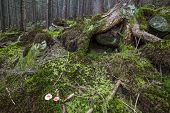 picture of irish moss  - Mysterious beautiful pinewood forest with mossy stones - JPG