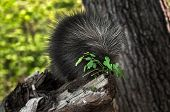 picture of nibbling  - Porcupette (Erethizon dorsatum) Nibbles on Greenery - captive animal