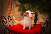 picture of christmas dog  - Dog Jack Russell Terrier at the Christmas tree - JPG