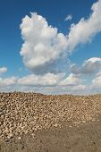 pic of sugar industry  - Agriculture autumn time sugar beet root harvesting in field - JPG