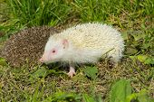 stock photo of albinos  - Albino northern white - JPG