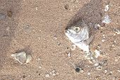 stock photo of gruesome  - Carcasses of dead fish on the beach - JPG