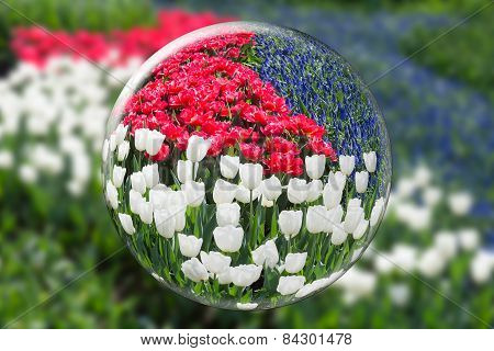 Glass sphere reflecting red white tulips and blue grape hyacinths
