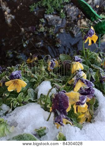 Frozen Pansy