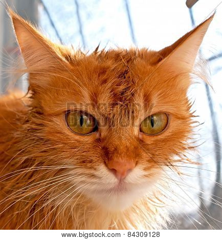 Muzzle Red Cat