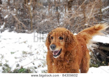Golden Retriever At Snowfall