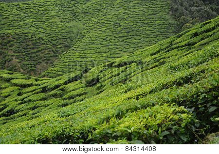 Green Tea plantation in Cameron Highland Valley