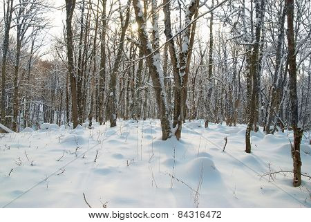 Winter Icy Forest