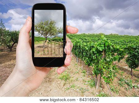 Tourist Taking Photo Of Olive Garden, Italy