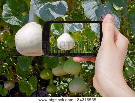 Tourist Taking Photo Of Bottle Gourds On Vine