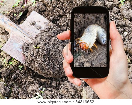 Man Taking Photo Of Larva Of Cockchafer In Garden