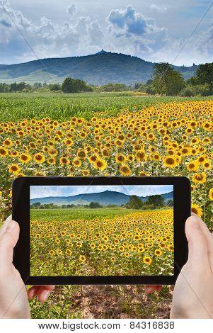 Tourist Taking Photo Of Sunflower Fields In Alsace