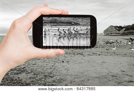 Tourist Taking Photo Of Pelicans On Malibu Beach