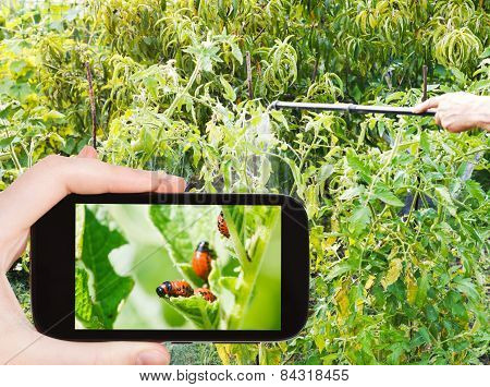 Man Taking Photo Of Spraying Insecticide In Garden