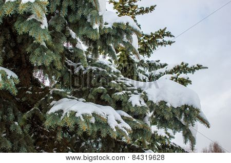The Spruce Branches Covered With Snow