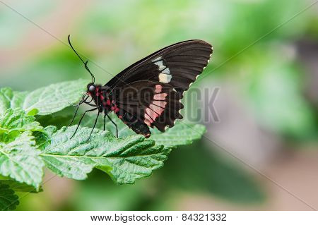 Tropical Swallowtail