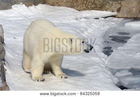 A polar bear (Ursus maritimus) at the edge of the water.