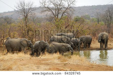 African elephants family at Kruger, South Africa