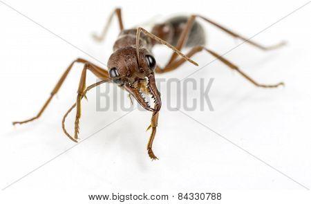 Bull Ant 86