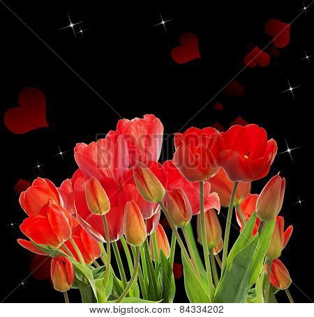 Beautiful Garden Fresh Red Tulips On Black  Background