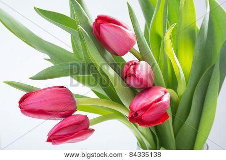 Crimson tulip flower on white background