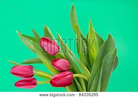 Crimson tulip flower on green background