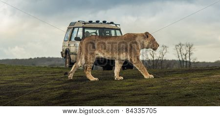 Lion walks past vehicle in safari park